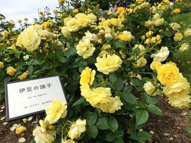 黄色ばらCIMG0299