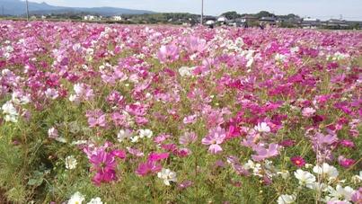 コスモス畑(遺跡前)