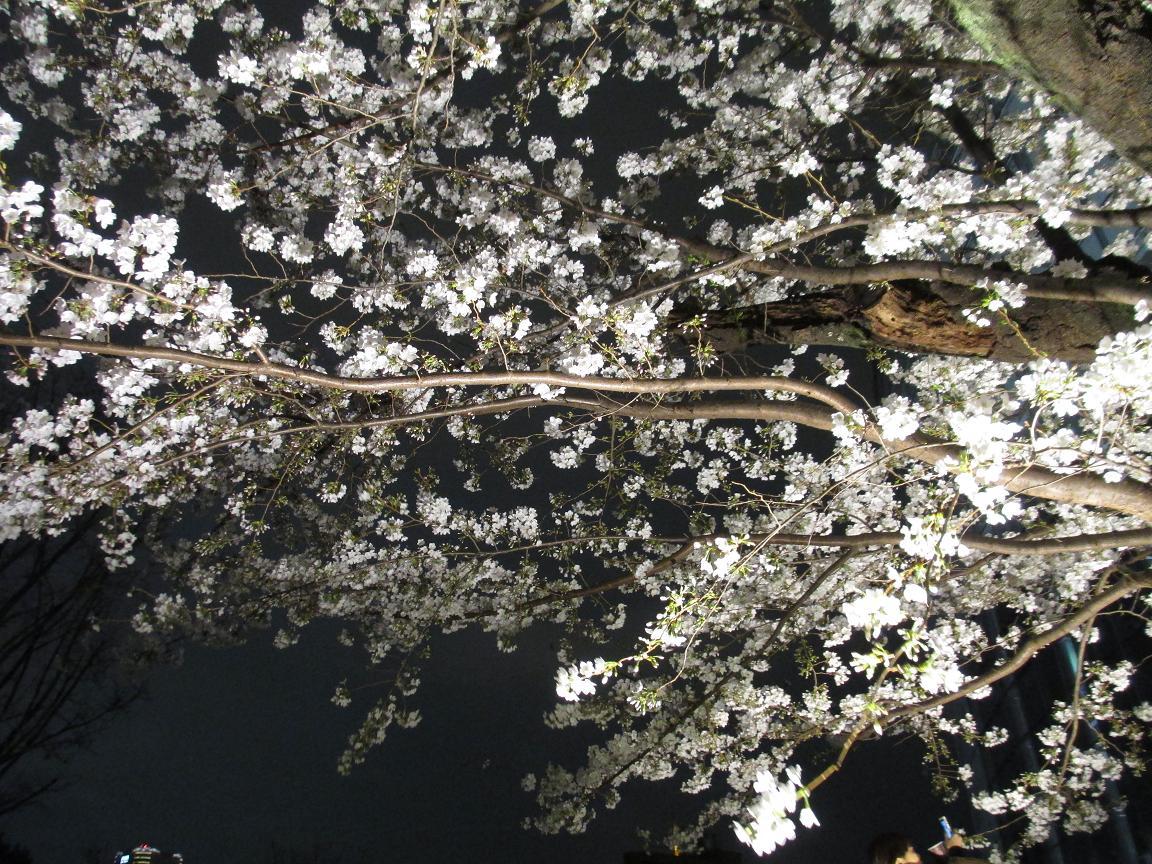 毛利庭園 夜桜