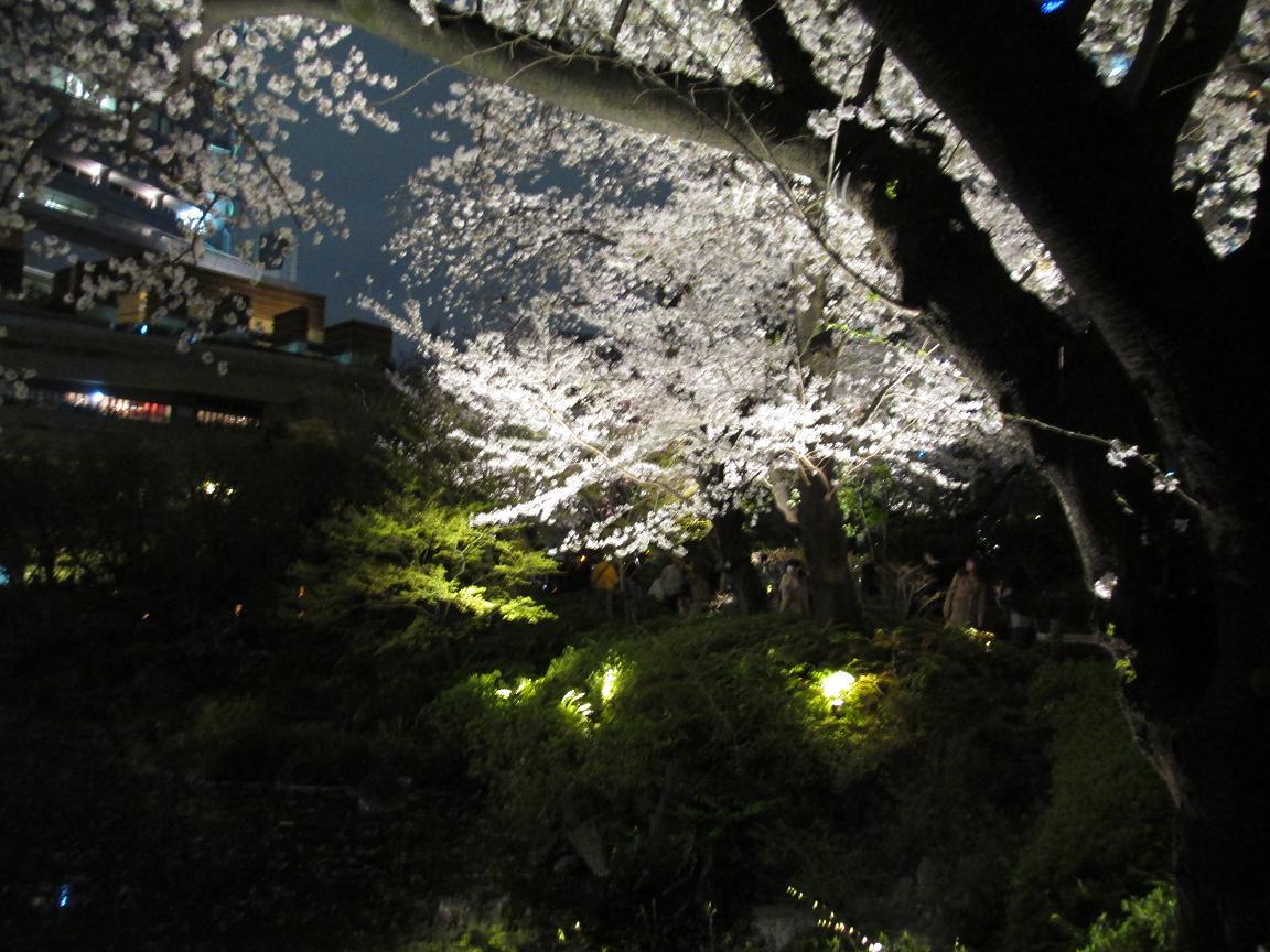 毛利庭園 夜桜2