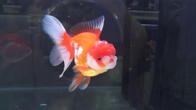 日本観賞魚フェア