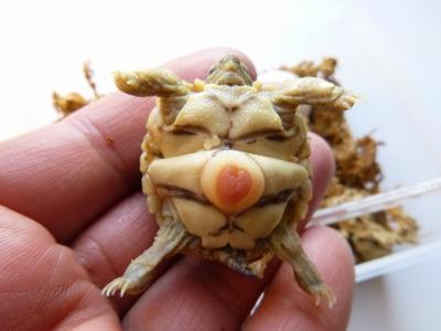 ヒョウモンリクガメ