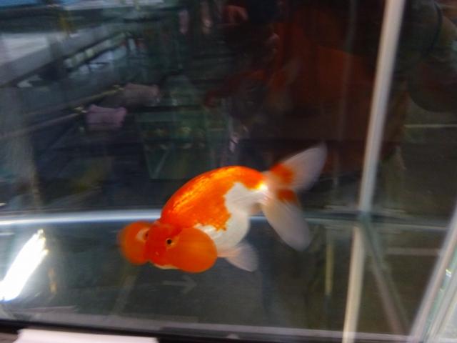 埼玉県観賞魚品評会受賞魚