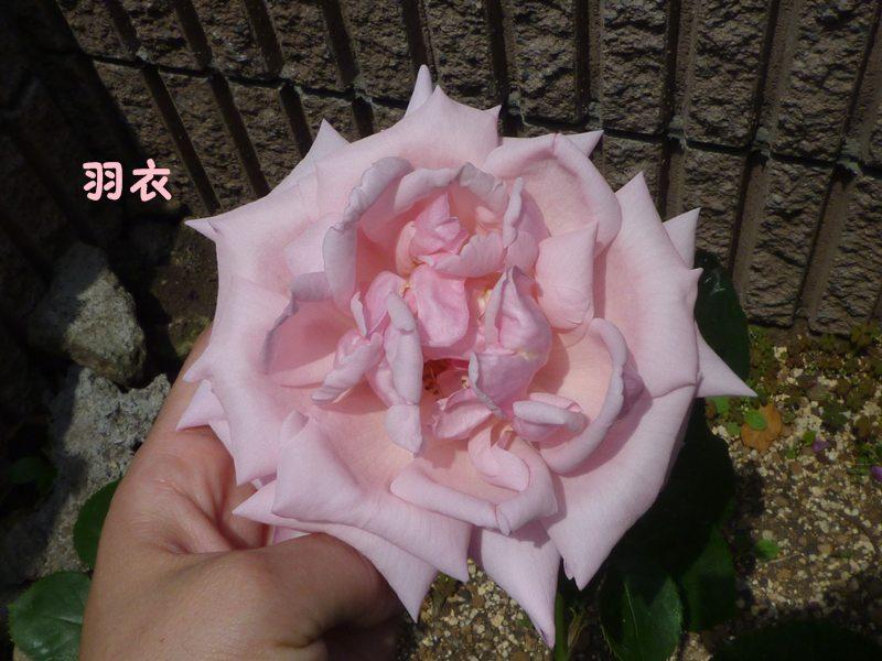 20130522hagoromo.jpg