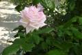 ピンク系の薔薇