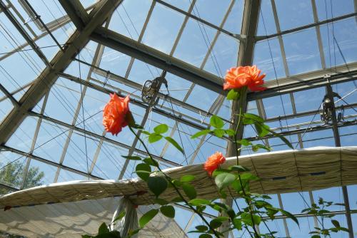 温室と薔薇