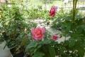 温室の薔薇