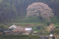 s06_itosimasakura_20130323_01.jpg
