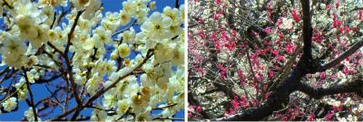 紅白の梅 北野天満宮 Collage 01