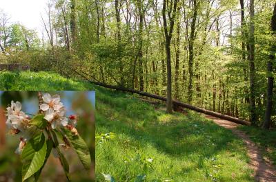 Prunus avium Wilde Kersenboom 04