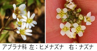 Erophila verna 001-3 Collage met Geldersetasje