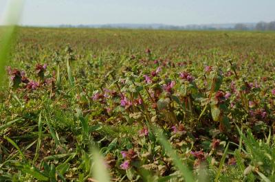 Lamium purpureum 002-1 ヒメオドリコソウ(姫踊り子草  堆肥