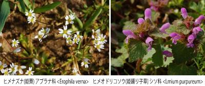 Lamium purpureum  004 Collage ヒメナズナとヒメオドリコソウ