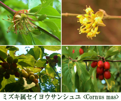 Cornus mas Corrage 003-1