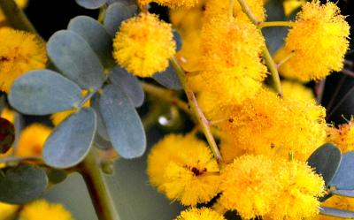 Acacia spectabilis 002-2 クローズアップ
