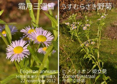 Erigeron annuus Cor 02 _edited-1