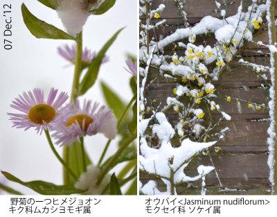 Winterjasm() en Zomerfijnstraal In sneeuw