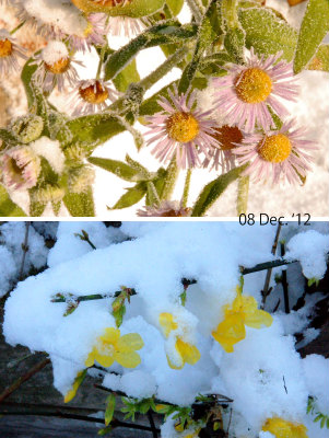 WinterJasmijn en Zomerfijnstraal 121208