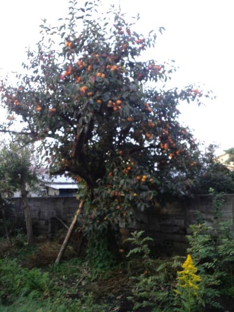 柿5-収穫前