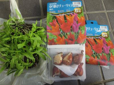チュ~リップと春菊