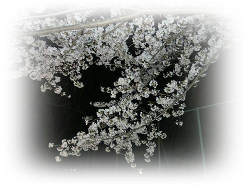 2012夜桜6