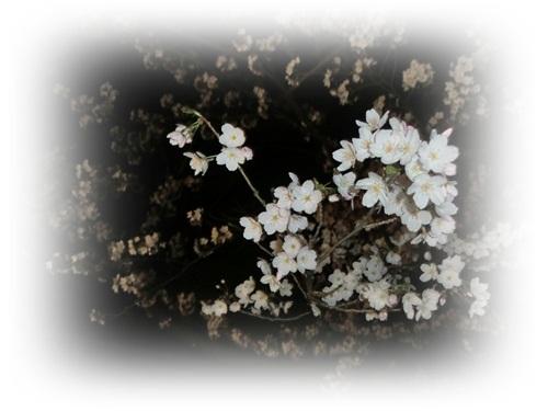 2012夜桜5