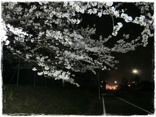 2012夜桜4