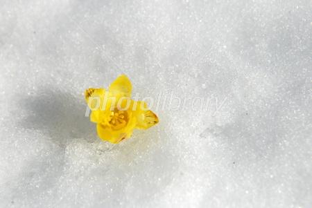 2788264 雪上の蝋梅