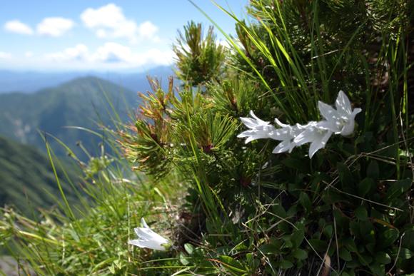 白いチシマギキョウ