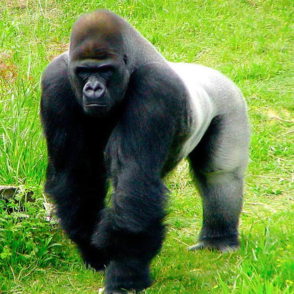 Gorilla1000PX.jpg