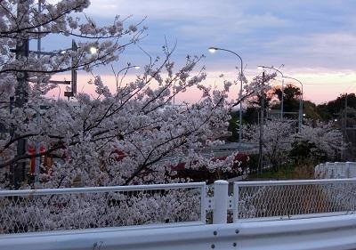 満開の桜が逆に悲しい