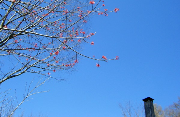ハナノキの花