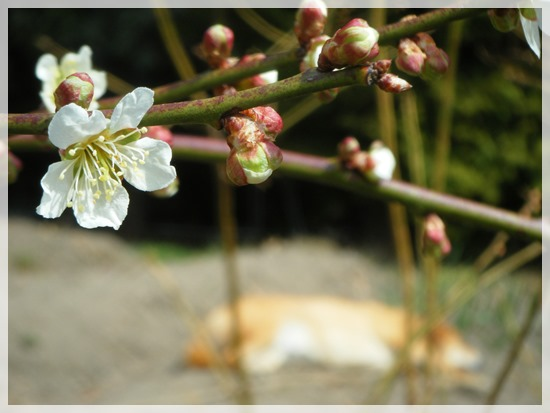 梅の花と畑の畝の上に寝るらく