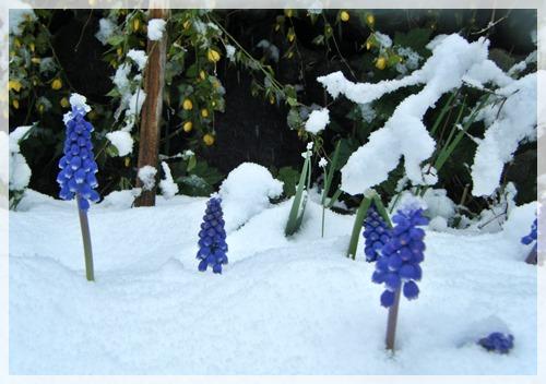 ムスカリと雪