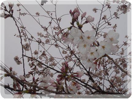 2013-03-27 東公園の桜