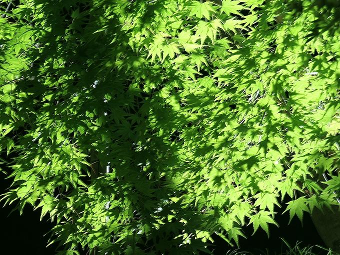 兼六園ライトアップ 深緑のモミジ