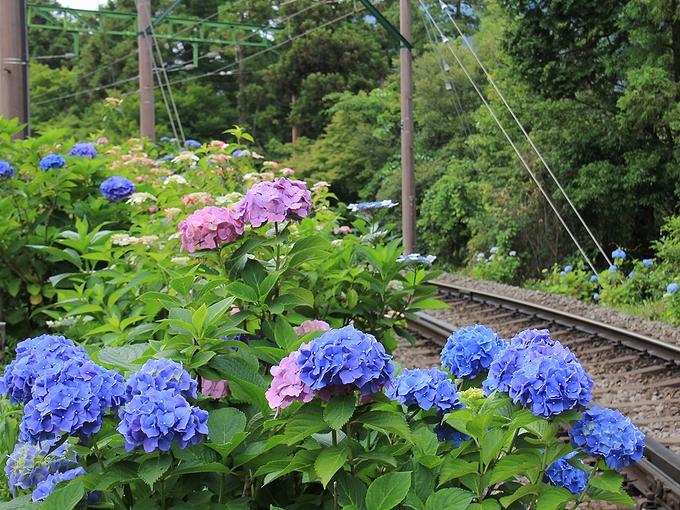 箱根登山電車 大平台駅付近の紫陽花