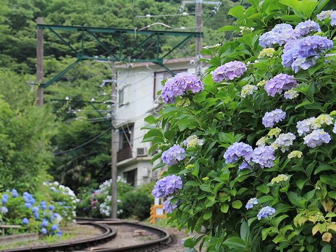 大平台踏切の紫陽花 箱根登山電車