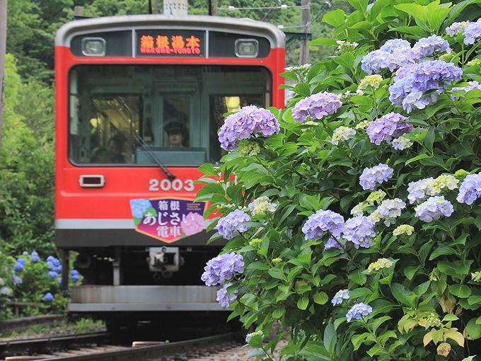大平台駅付近の紫陽花 箱根登山電車