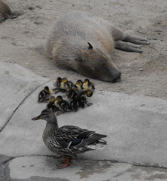 554px-Capybaramallards.jpg