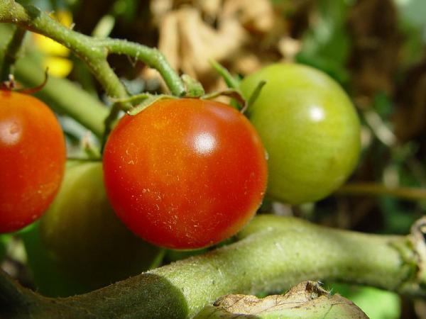 Cherry_tomatoes_plant_convert_20130724202008.jpg