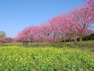 桃と菜の花-1
