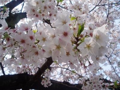 桜_010323