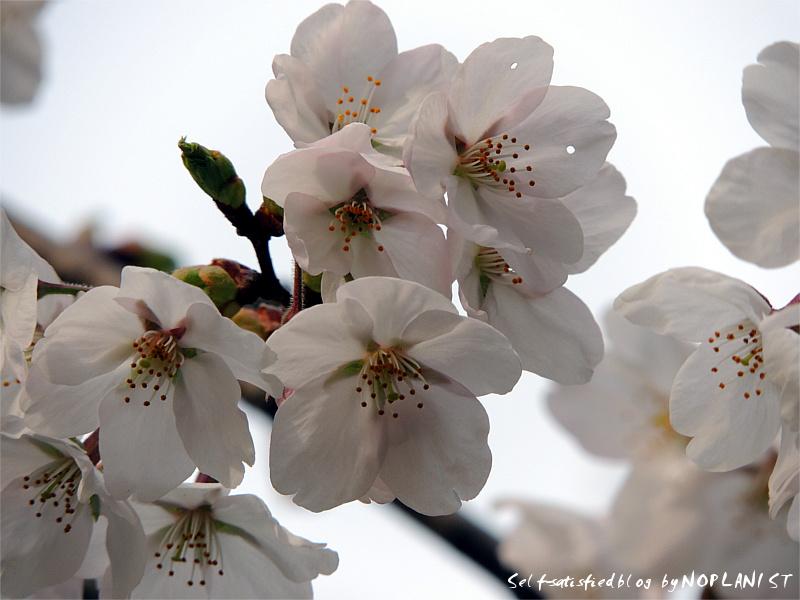 DSCN3988_sakura.jpg