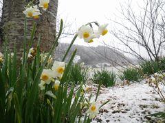 [写真]をくづれ水仙郷の雪景色(水仙にうっすらと雪が積もっている様子)