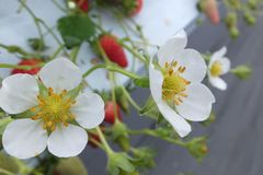 [写真]2輪のいちごの花が仲良く咲いている様子