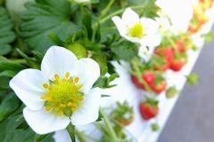 [写真]イチゴの白い花