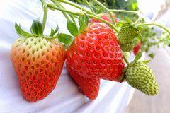 [写真]半分だけ色付いたイチゴと真っ赤なイチゴ