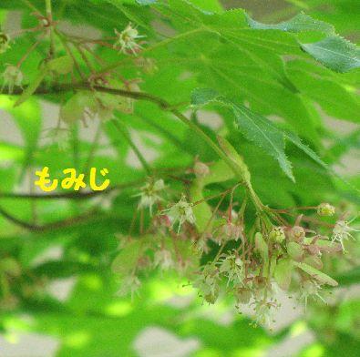 IMG_0132もみじの花
