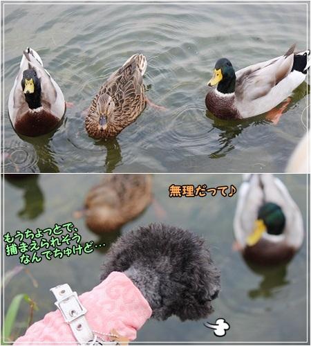鴨と遊び~ て、遊ばれ?